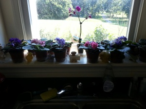 african violets 2