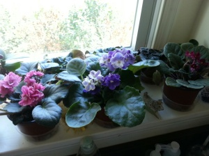 The sill of African Violets